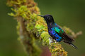 Velvet purple coronet boissonneaua jardini dark blue and black hummingbird sitting on green lichen branch in the tropical forest Royalty Free Stock Photo