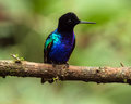 Velvet purple coronet boissonneaua jardini portrait of an exotic spectacular colorful hummingbird perching on a branch mindo Royalty Free Stock Photography