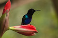 Velvet purple coronet boissonneaua jardini portrait of an exotic spectacular colorful hummingbird perching on a red amaryllis Stock Photos