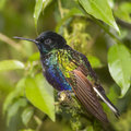 Velvet-purple Coronet Hummingbird Royalty Free Stock Images