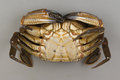 Velvet swimming crab necora puber Stock Photography
