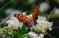 Velvety orange butterfly a enjoying nectar from the flowers Royalty Free Stock Photo