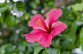 Velvety red hibiscus pink flower with leaves on green background Royalty Free Stock Photos