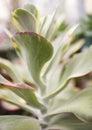Velvety succulent Royalty Free Stock Photo