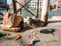 Seagull in trash on street of Venice canal, Italy Royalty Free Stock Photo