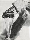 Venom extraction Royalty Free Stock Photo