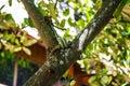 Venom green snake is eating lizards on tree Stock Image