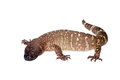 Venomous Beaded lizard isolated on white Royalty Free Stock Photo