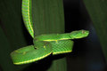 Venomous green tree pit viper, costa Royalty Free Stock Photo