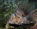 A Venomous Lionfish, Pterois, With Its Spiky Fins Stock Photography