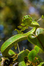 Venomous pit viper large tree coiled in mossy plants with threatening pose Stock Photo