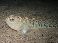 Venomous and poisonous fish greater weever trachinus draco on sandy sea floor with small young around Stock Images