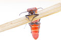 Venomous red beetle from asia Stock Image