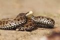 Venomous snake ready to attack meadow adder vipera ursinii rakosiensis endangered species Stock Images