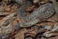 Venomous snake steppe viper basking in the sun Stock Images