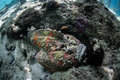 Venomous stonefish a well camouflaged lives on the seafloor of a reef in indonesia this is one of the world s most fish Stock Photography