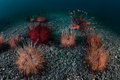 Venomous urchins and lionfish a swims near a set of fire in lembeh strait indonesia Royalty Free Stock Photos