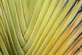 Ventilador del plátano Fotografía de archivo libre de regalías
