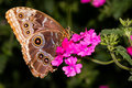 Ventral view blue morpho butterfly pink flowers Royalty Free Stock Images