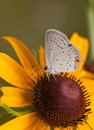 Ventral view of a diminutive eastern tailed blue butterfly feeding on black eyed susan flower Stock Photos