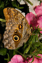 Ventral view giant owl butterfly pink flowers Royalty Free Stock Image