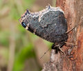 Ventral view of Mourning Cloak butterfly Stock Photo