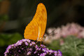 Ventral view orange julia butterfly purple flowers Stock Image