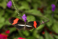 Ventral view red postman butterfly aka small postman purple flower Stock Image