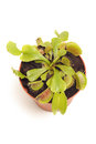 Venus fly trap Stock Images