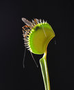 Venus fly trap with prey counter light of crane Royalty Free Stock Images