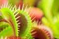Venus flytrap Royalty Free Stock Photo