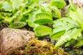 Venus flytrap carnivorous plant close up Stock Photos