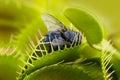Venus flytrap - dionaea muscipula Royalty Free Stock Photo
