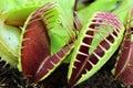 Venus flytrap Royalty Free Stock Photo