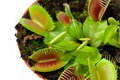 Venus flytrap in a pot Stock Photography