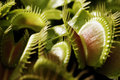 Venus flytrap waiting for flesh selective focus Stock Photos