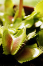 Venus flytrap waiting for flesh selective focus Royalty Free Stock Photography