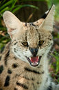 Verärgerter serval cat south africa Lizenzfreies Stockfoto