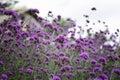 purpurová kvety