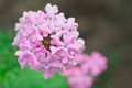 Verbena flower Stock Image