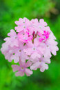 Verbena flower Royalty Free Stock Images