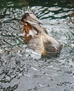 Verbinding die op zijn rug zwemt Stock Afbeeldingen