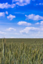 Verdant field crops vast fields of healthy green wheat ripening under big blue summer skies Royalty Free Stock Photography