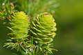 Verdant larch cones in spring Stock Photos