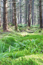 Verdant pine forest of scots trees Royalty Free Stock Photos