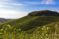 Verdant vineyard landscape and hills in summer undulating against blue sky Stock Photo