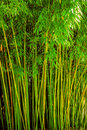 Verde do bambu Fotografia de Stock Royalty Free