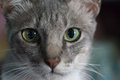 Verde dos olhos de gato Imagens de Stock Royalty Free
