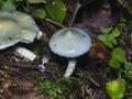 Verdigris agaric or Stropharia aeruginosa, blue mushroom, close-up, selective focus, shallow DOF Royalty Free Stock Photo