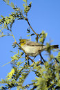 Verdin, Auriparus flaviceps Royalty Free Stock Photography